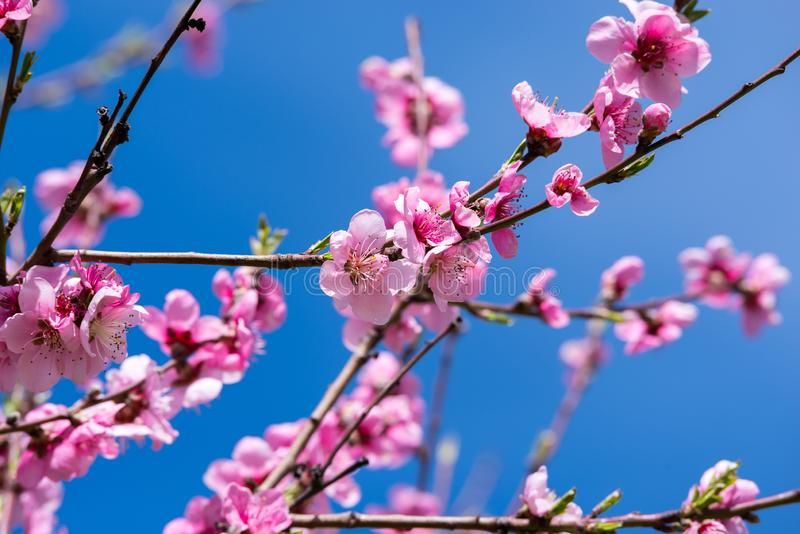 Blooming peach trees in spring. Soft focus, natural blur royalty free stock images
