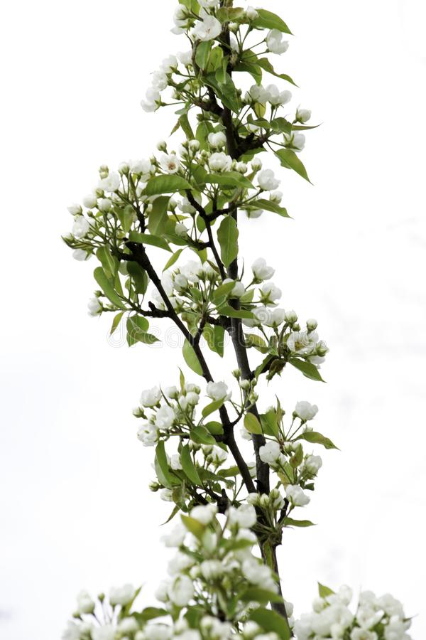 Blooming pear branch isolated on white sky background stock images
