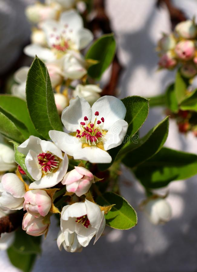 Blooming pear tree blossoms. On a sunny spring day royalty free stock photography