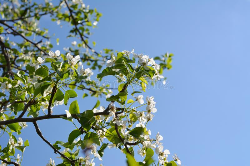 Blooming pear tree. Branches with beautiful flowers against clear blue sky. stock photography