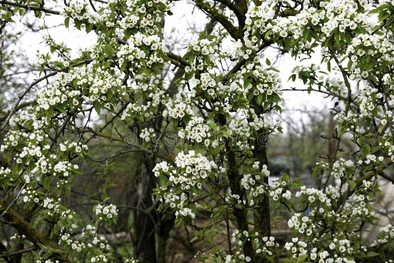 Blooming pear tree branches in a spring garden, white flowers and young green foliage, background, backdrop royalty free stock photography