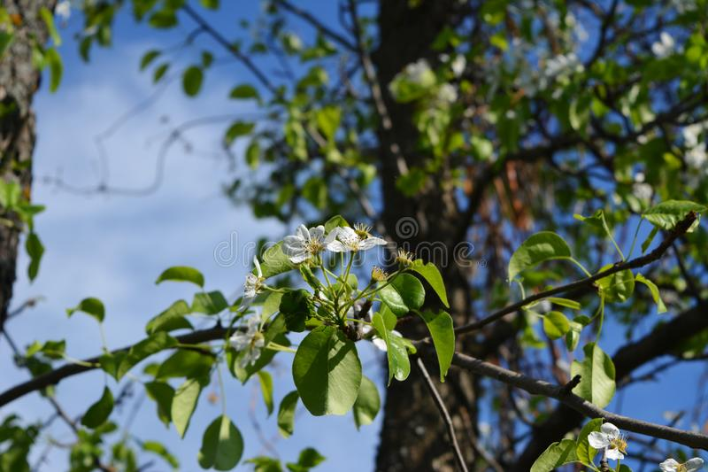 Blooming pear tree. Garden in may stock images