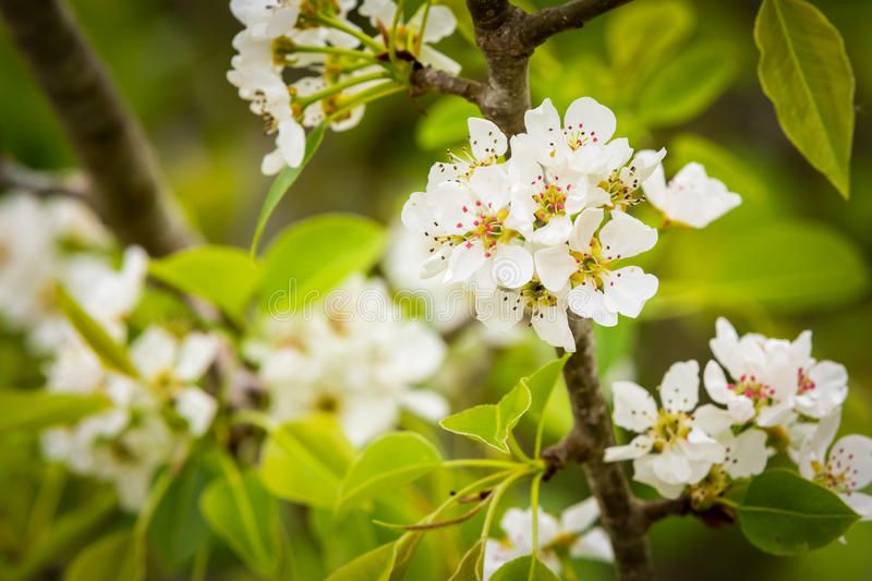 Blooming Pear Tree. A white flower blooming on a pear tree royalty free stock image