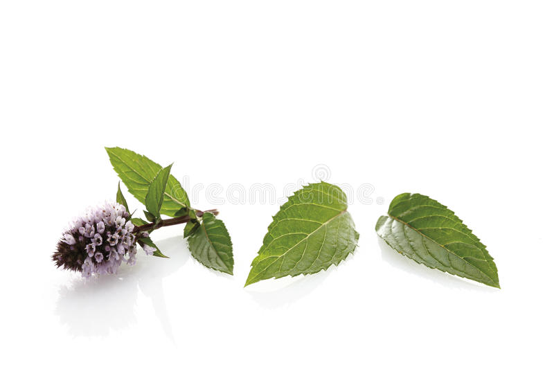 Blooming peppermint ((Mentha x piperita) royalty free stock photo