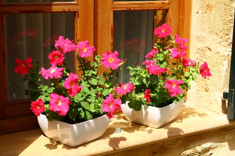 Blooming petunias in the window royalty free stock photos
