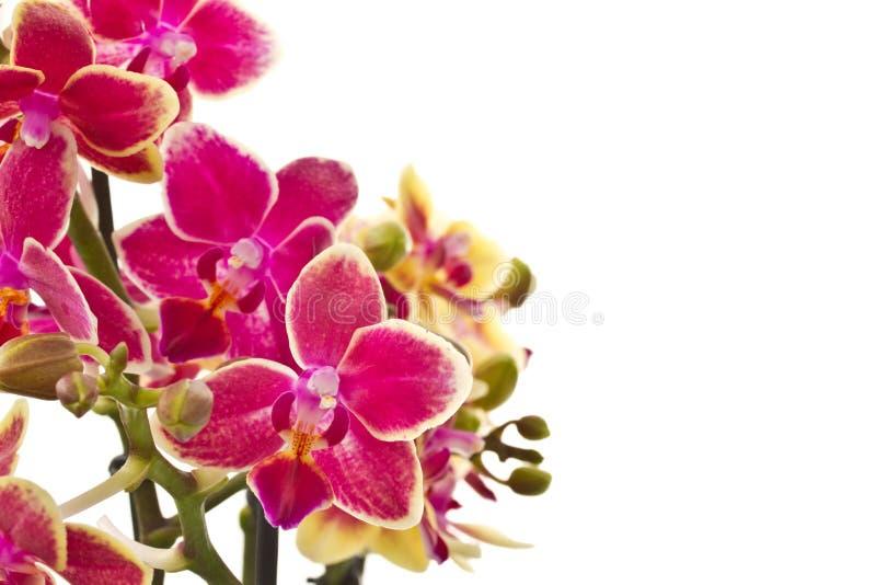 Blooming phalaenopsis stock photo
