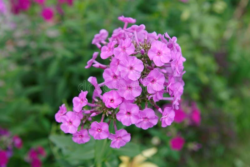 Phloxes in the garden stock photography