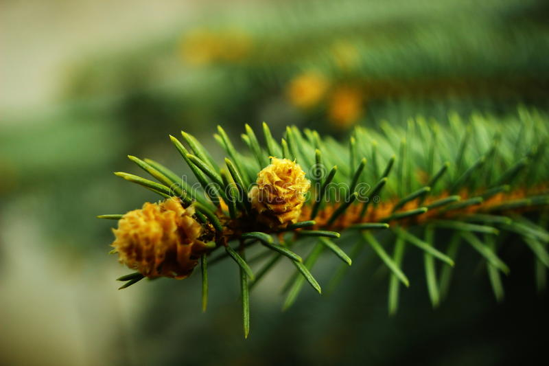 Download Blooming pine bud. stock image. Image of foliage, growth - 39504451
