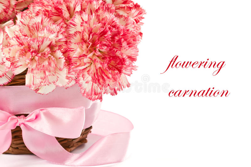 Download Blooming pink carnation stock photo. Image of blooming - 24264328