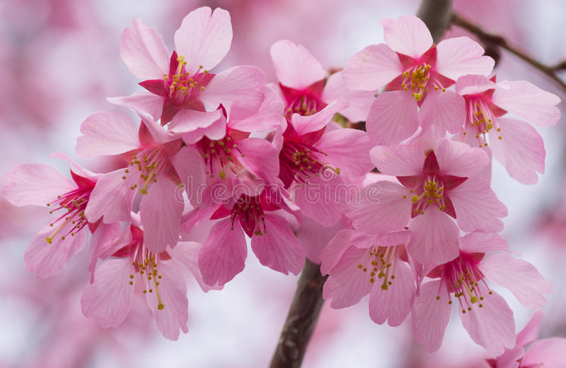 Blooming Pink Cherry Flowers. Close-up of blooming pink cherry flowers with blur back ground stock photo