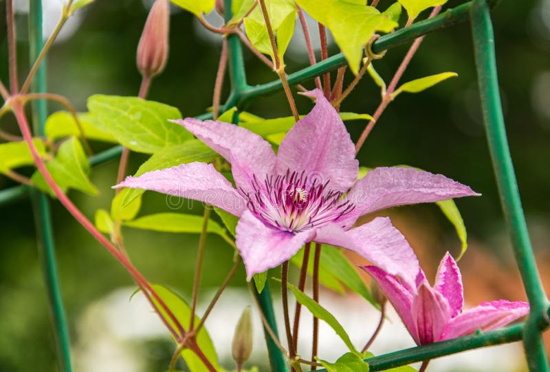 Blooming pink clematis close-up in the garden royalty free stock photo