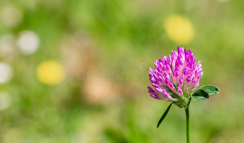 Blooming pink clover on a green meadow on a sunny day. Nature blurred background. Shallow depth of field. Toned image. Copy space. Blooming pink clover on a stock image