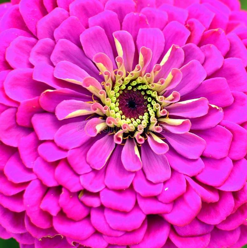 Blooming pink dahlia in garden stock image