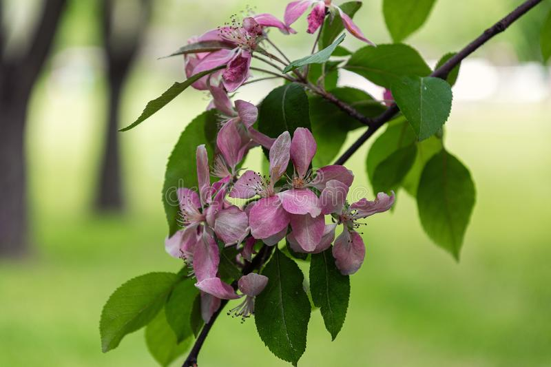 Blooming with pink flowers Apple tree in victory Park in St. Petersburg stock photography