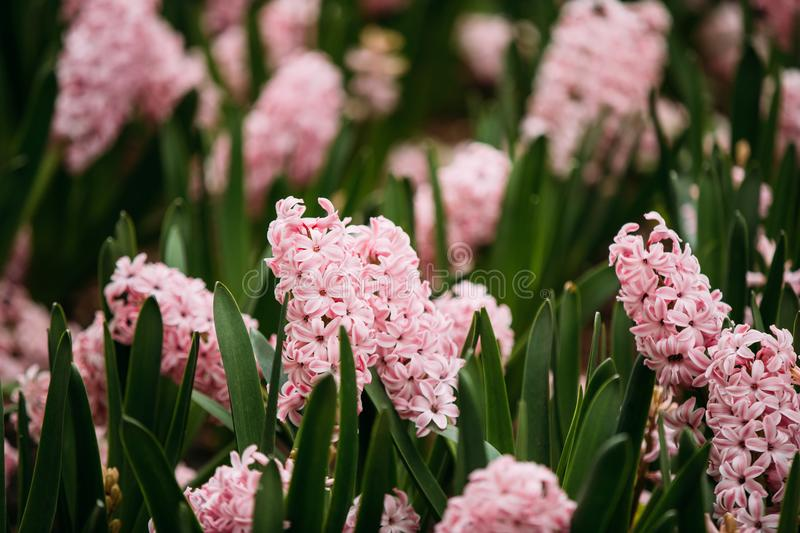 Blooming Pink Flowers Of Hyacinth In Spring Garden royalty free stock image