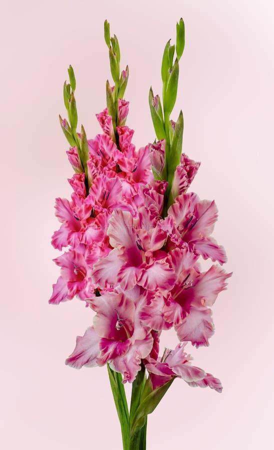 Blooming Pink Gladiolus royalty free stock images