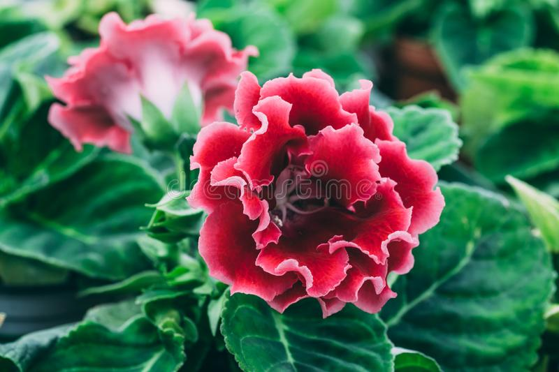 Blooming pink Gloxinia or Sinningia speciosa, ornamental plant flower, macro photo royalty free stock photos
