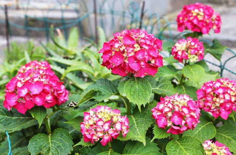 Blooming pink Hydrangea Hortensia flowers - spring garden flowers royalty free stock photo