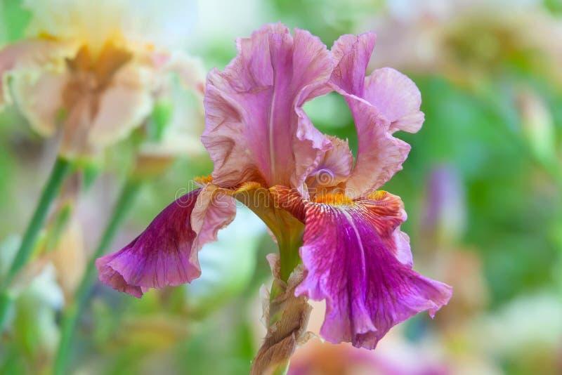 Blooming pink Iris in summer garden stock images