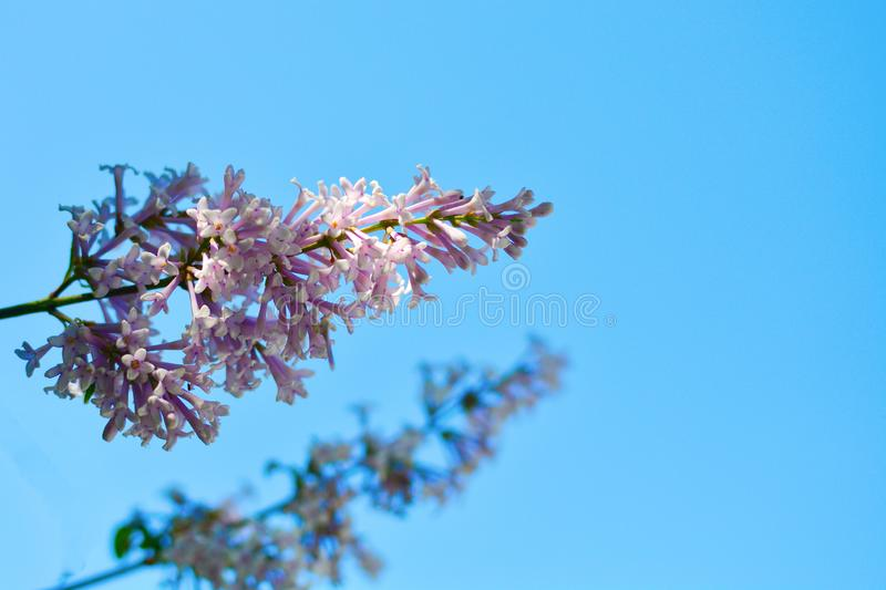 Blooming pink lilac flowers - floral background with free space for text. Pastel and soft focus processing stock image