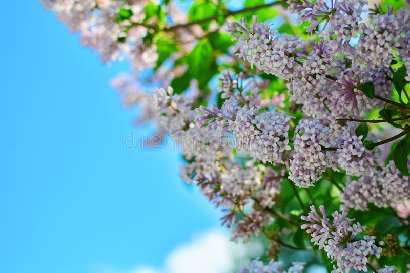 Blooming pink lilac flowers - floral background with free space for text. Pastel and soft focus processing stock photography
