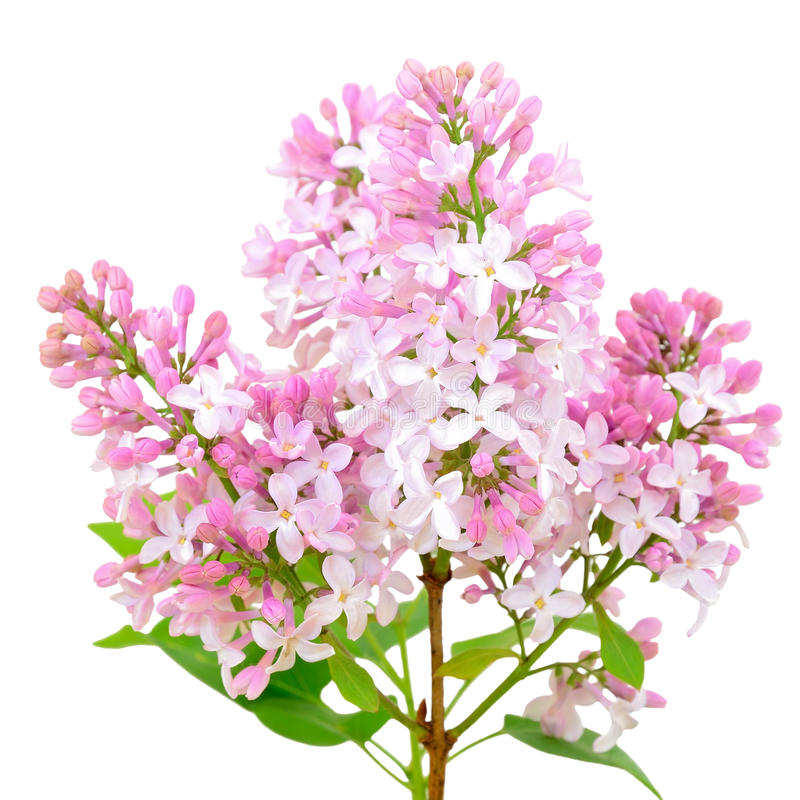 Blooming of pink lilac (Syringa). Isolated on white background stock image