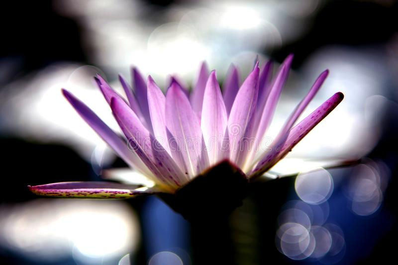 A blooming pink lotus in the pond in summer is very outstanding. Very beautiful and colorful. Against the background of blurred light spots and bokeh, the stock image
