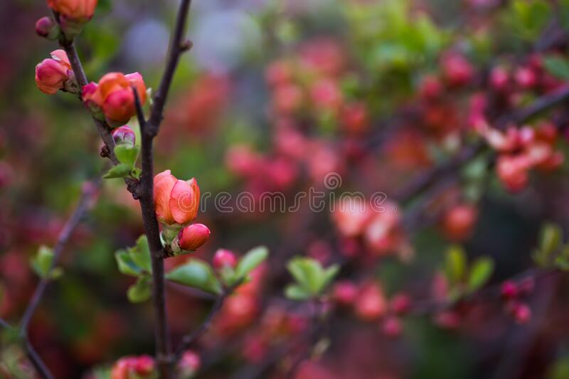 Blooming pink-orange branches of Japanese quince in spring outdoor with copy space. Bush in blossom with vibrant flowers.  royalty free stock image