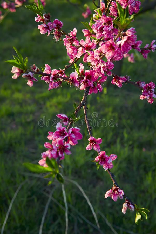 Blooming pink peach blossoms on tree stick with green background in the beginning of spring. Blooming pink peach blossoms on tree stick with green background in royalty free stock photography