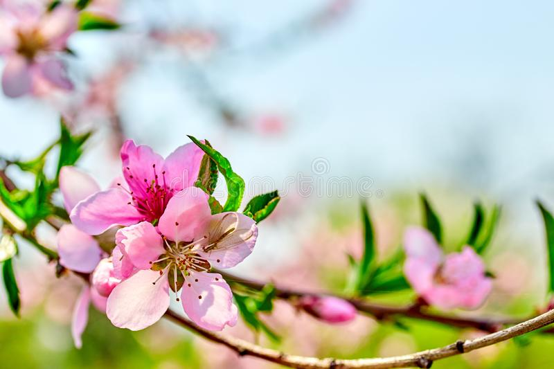 blooming pink flowers peach branch in spring in the garden against the blue sky stock photo