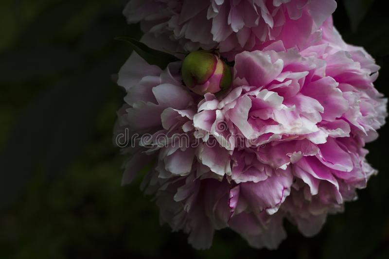 Blooming pink peony in the dark garden royalty free stock photo