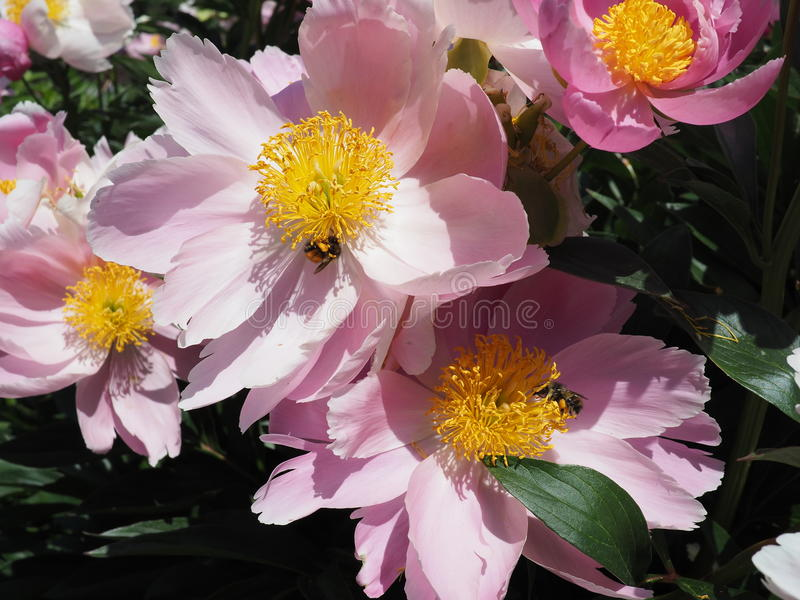 Blooming Pink Peony Flowers with Bumble Bees royalty free stock image