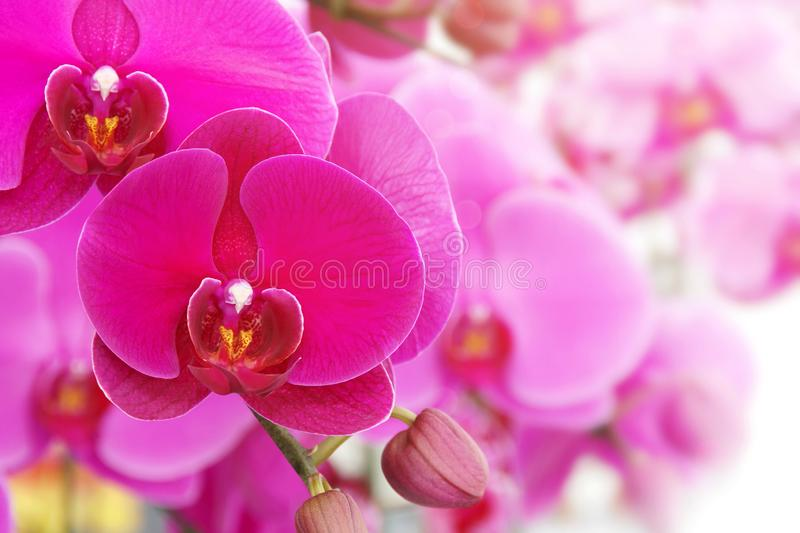 Blooming Pink Phalaenopsis Orchid Flowers on Natural Blurred Background with Copy Space stock image