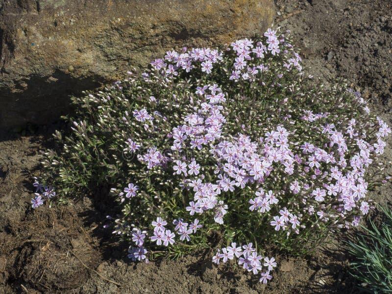 Blooming pink Phlox subulata, Candy Stripes Creeping Alpine Moss Phlox in a perennial rock garden.  royalty free stock photo
