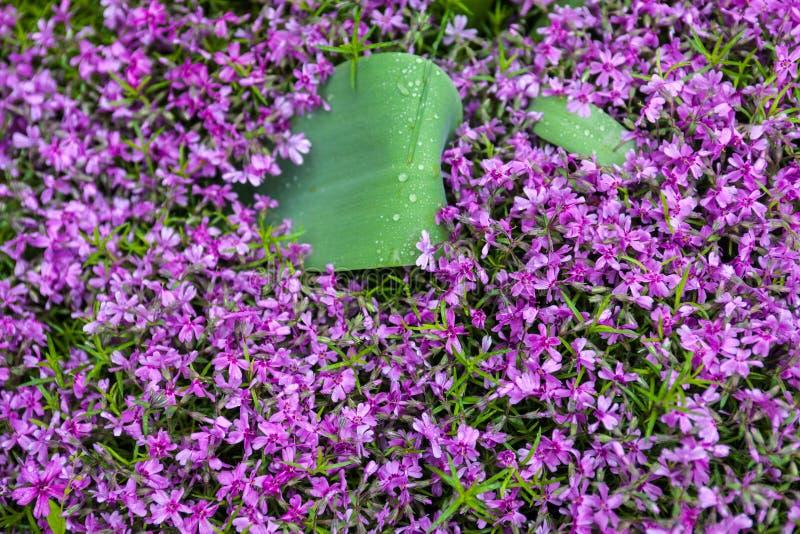 Blooming pink phloxes (Phlox subulata) royalty free stock image