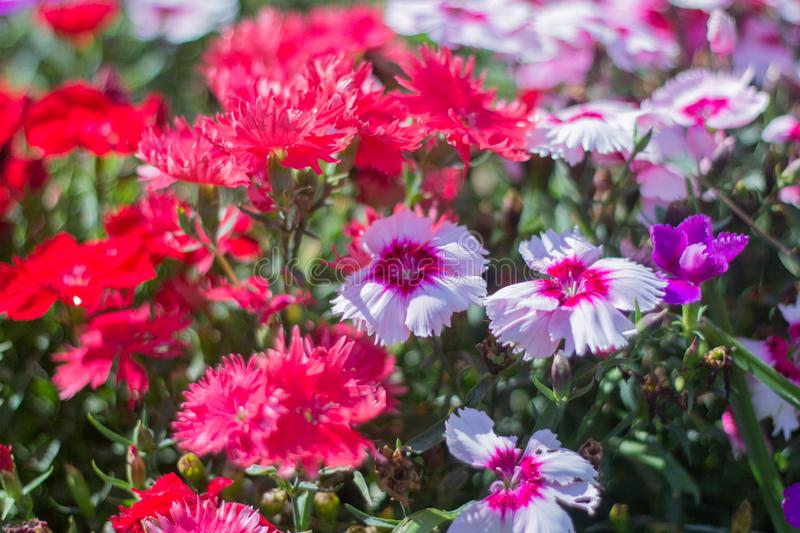 Blooming pink and red flowers of Dianthus on the flower bed.  stock photos
