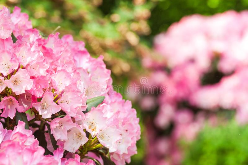 Blooming pink rhododendron in the garden stock photos