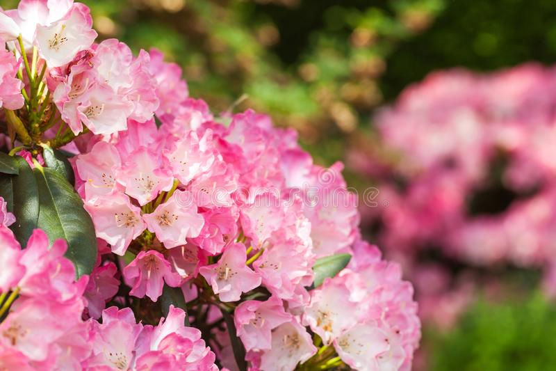 Blooming pink rhododendron in the garden royalty free stock photography