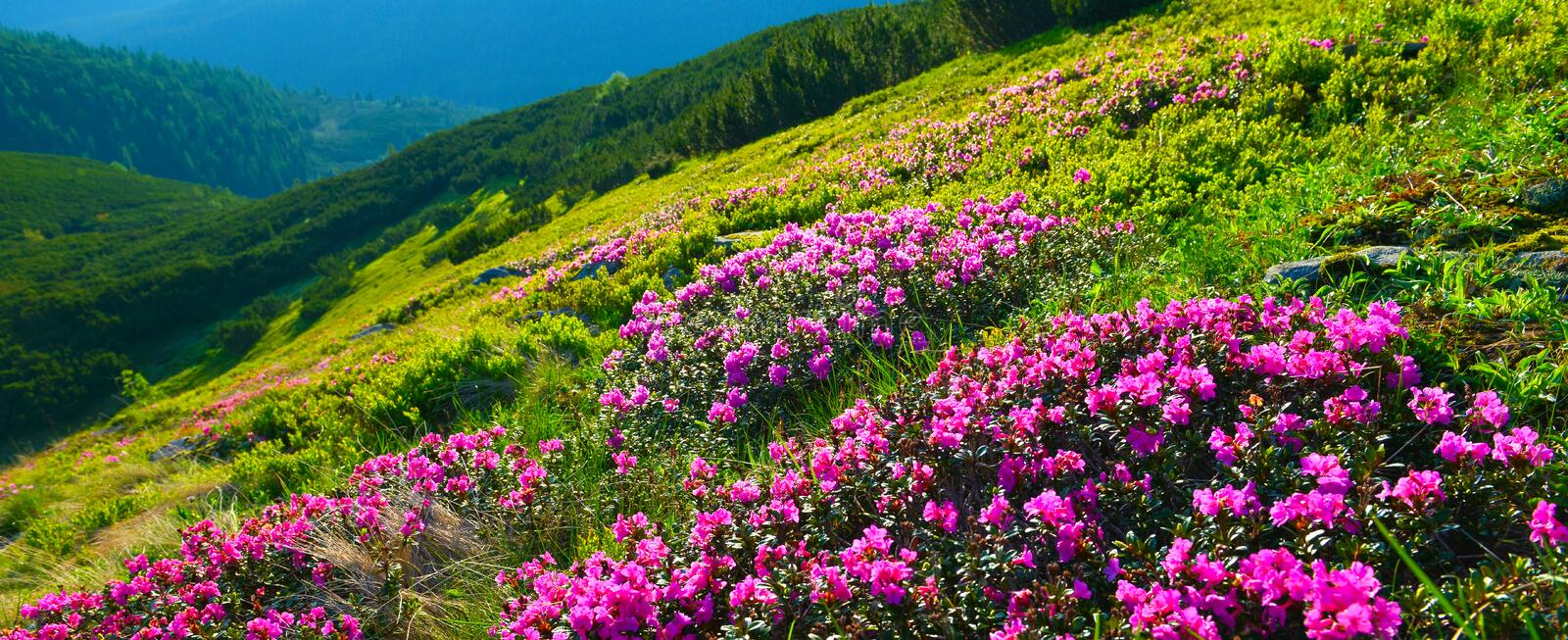Blooming pink rhododendron in summer mountains. stock photo
