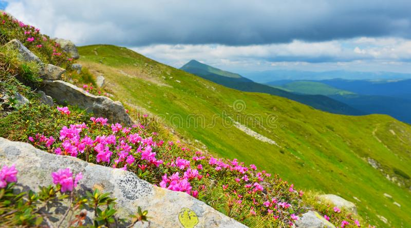 Blooming pink rhododendron in summer mountains. stock images