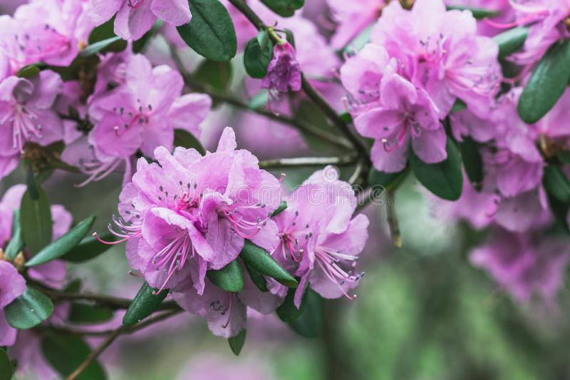 Blooming pink rhododendrons flowers. Spring season stock photography