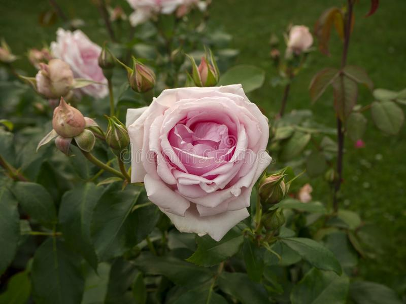 Blooming pink rose and buds on the green bush stock photos