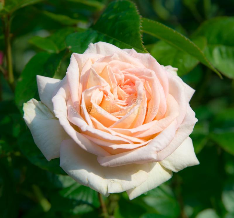 Blooming pink rose in the garden on a sunny day. Hybrid Tea Rose cultivar Madame Anisette KORDES closeup in the garden stock images