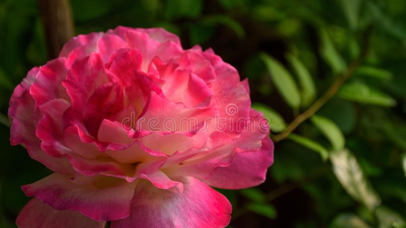 Blooming pink rose stock images