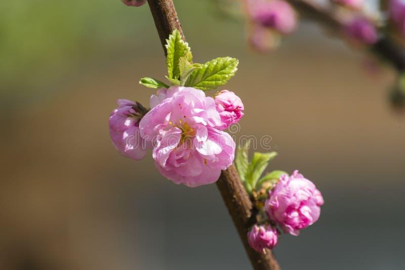 Blooming pink sakura flower stock images