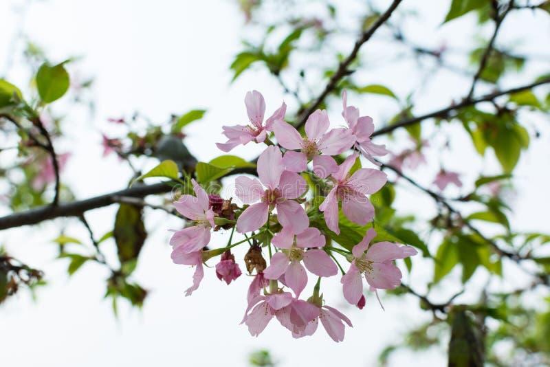Blooming pink sakura flower royalty free stock photos