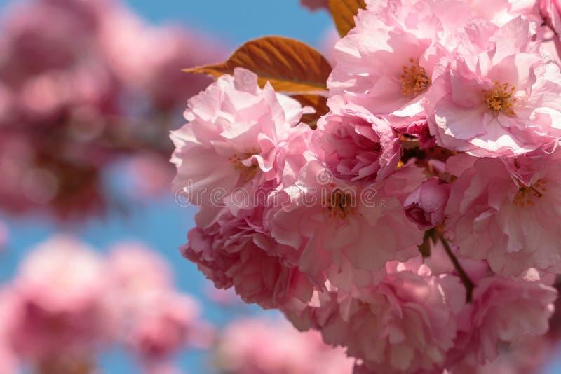 Blooming pink sakura flowers royalty free stock photography