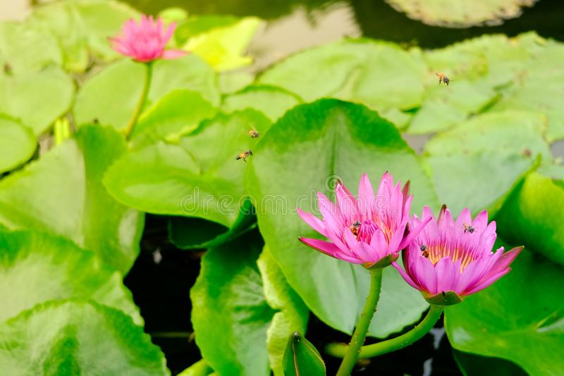 Blooming pink water lilly flower stock image
