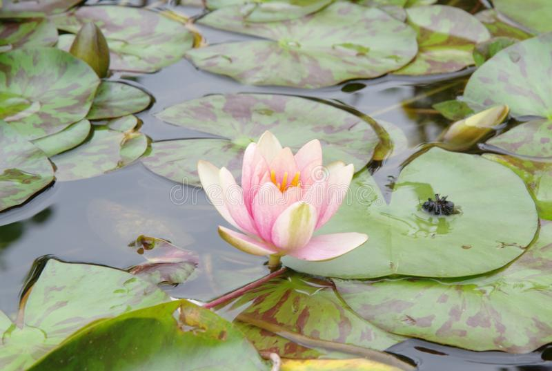 Blooming pink water lily in a pond in Prague park royalty free stock images