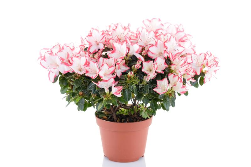 blooming plant of azalea in flower pot isolated on white background stock photos